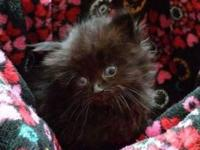 Beautiful solid black doll faced Persian male kitten.