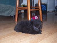 Black Male Pomeranian DOB 8/31/15 CKC Registered Shots
