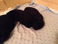 Hello I have 4 black pug puppies that are just 4 weeks