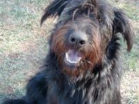Black Russian Terrier - Harold - Big - Adult - Guy -