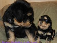 Black Russian Terrier puppies for sale!