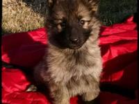 Gorgeous black sable plush coat female. Sire ... Judge