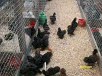 these silkies are 5 to 6 months old. will start laying