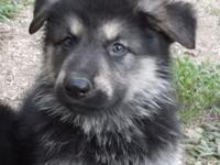 This is ICE, long coat black/silver AKC German Shepherd