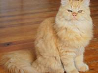 Stunning litters of Himalayans and Persian kittycats