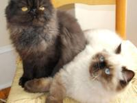 Gorgeous litters of Himalayans and Persian kittens born