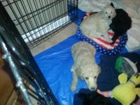 3 Female Black Standard Poodle puppy's available