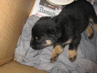 We have Black & Tan Heeler Puppies. They were born