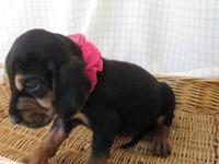 beautiful black tan lil girls 2 available will be ready