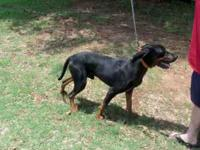Registered Black & Tan coon hound. The man I bought him