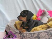 We have darling female dachshund puppy for immediate