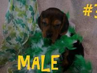 These are two super cute male beagle puppies! Black &