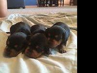 We have 3 adorable miniature dachshunds that will be