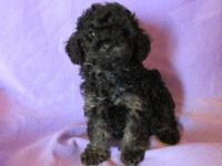 i have a black and tan, male, phantom poodle puppy to