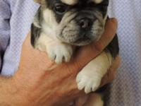 She is Black & Tan with white markings. Both parents