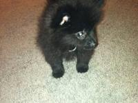 A gorgeous black male Toy Pomeranian. Mom (5lbs) Dad