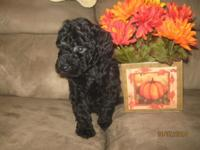 This Solid Black Male Toy Poodle is prepared for his