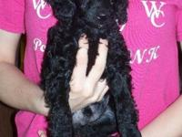 Born February 9, 2015. Black Toy poodle. 1 Male Left.