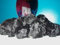 Born February 9, 2015. Black Toy poodles. All Males.