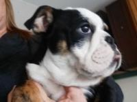 Beautiful boys avail for pet or breeding Akc reg UTd on