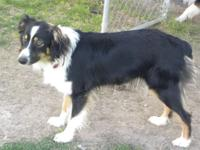 Oakley is a beautiful black tri aussie with BIG golden