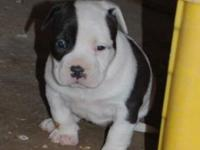 We have some adorable american bully puppy's born