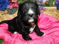 This is Clara  Gorgeous Cavachon female Puppy. She