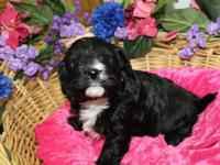 This is Kira  a very beautiful Valentine Cavachon