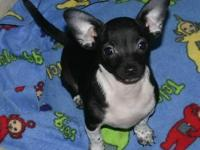 Chihuahua puppy Black/White male he was born Sept 1,