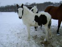Zaza is a 7 year old black and white 50% Friesian/50%
