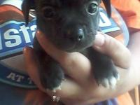 I have 1 male Chihuahua puppy left. He was born on May