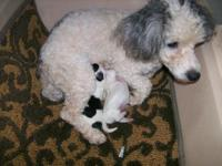 Our 7 lb. parti-color Plaything Poodle, Silvia had her