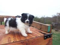 Black & White Parti Pomeranian Male DOB 9/9/15 CKC