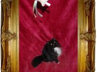 PICASSO - Black & White Persian Extreme Show Kitten