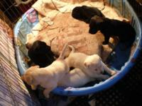 BLACK / YELLOW - AKC LABRADOR RETRIEVER PUPPIES AKC,