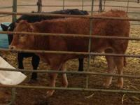 FOR SALE - 1 black angus bull and 1 red limousin steer