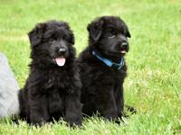 """Black German Shepherd Puppies"" ""Red and Black German"