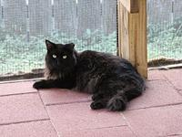 Black Magic's story A med-long haired male maine coon?,