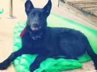 9 month old male German Shepherd. As much as date on