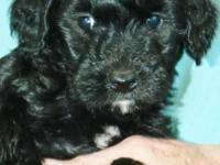 We have four charming little mini goldendoodles -- all