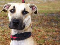 Black Mouth Cur - A598905 - Small - Young - Male - Dog