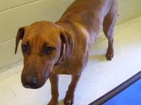 Black Mouth Cur - Duke - Large - Baby - Male - Dog Duke