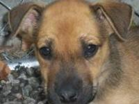 Black Mouth Cur - Zebedee - Large - Young - Male - Dog