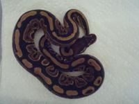 Black Pastel 100% Het Piebald Ball Python for sale.