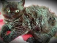 I have a black smoke persian kitty for sale. He is 10