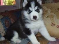 Black/ White Siberian husky puppies . They are very