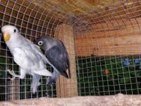 Very nice blackmask lovebirds with a very dark mask.