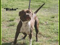 1804027 - Blake, approx 8 mos mixed breed pup