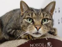 Hi, I'm Blake, a handsome 4 yr old brown tabby looking