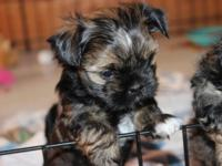I have a precious litter of Shorkie babies(Shih Tzu and